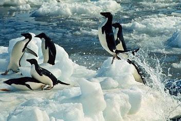 Pinguinos en la Antártida argentina