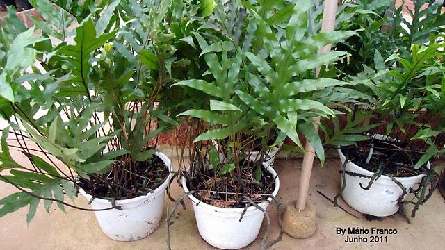 Meu cantinho verde SAMAMBAIAJAMAICA  ( Phymatosorus scolopendria )