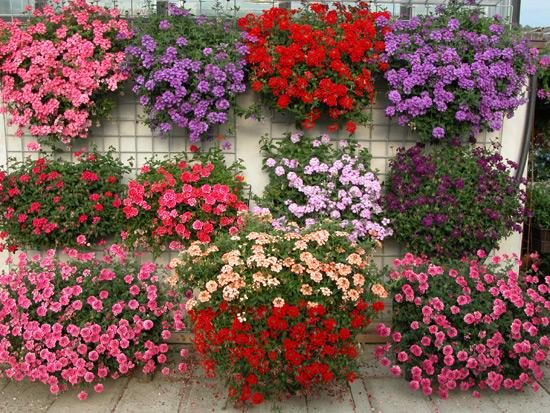 Piante e fiori bordo di piante erbacee annuali for Petunie perenni