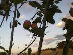 Macieira de minha casa