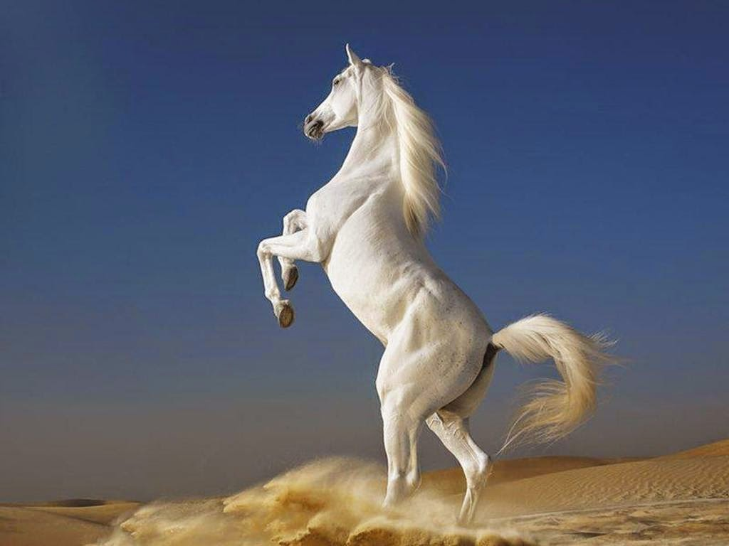 Good   Wallpaper Horse Spirit - free-spirit-white-horse  2018_164299.jpeg