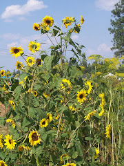 Sunflowers and Dill in the Garden