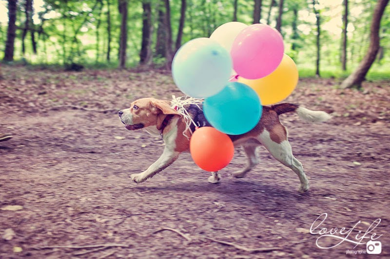 Beagle en photo avec ballons colorés