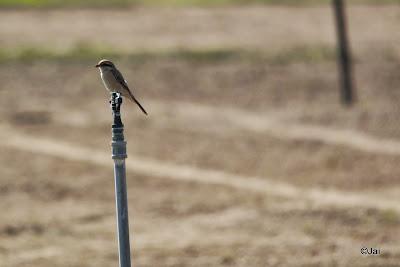 Shrike @ Dubai Pivot field