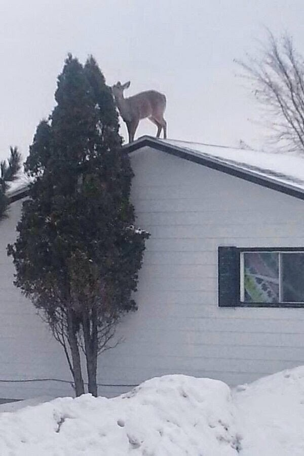 Funny animals of the week - 5 April 2014 (40 pics), deer on house roof