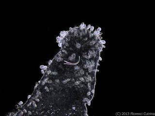 Microstomum detalle estilete reprocutivo campo osucro - El mundo de Hydra