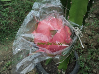 bungkus buah naga