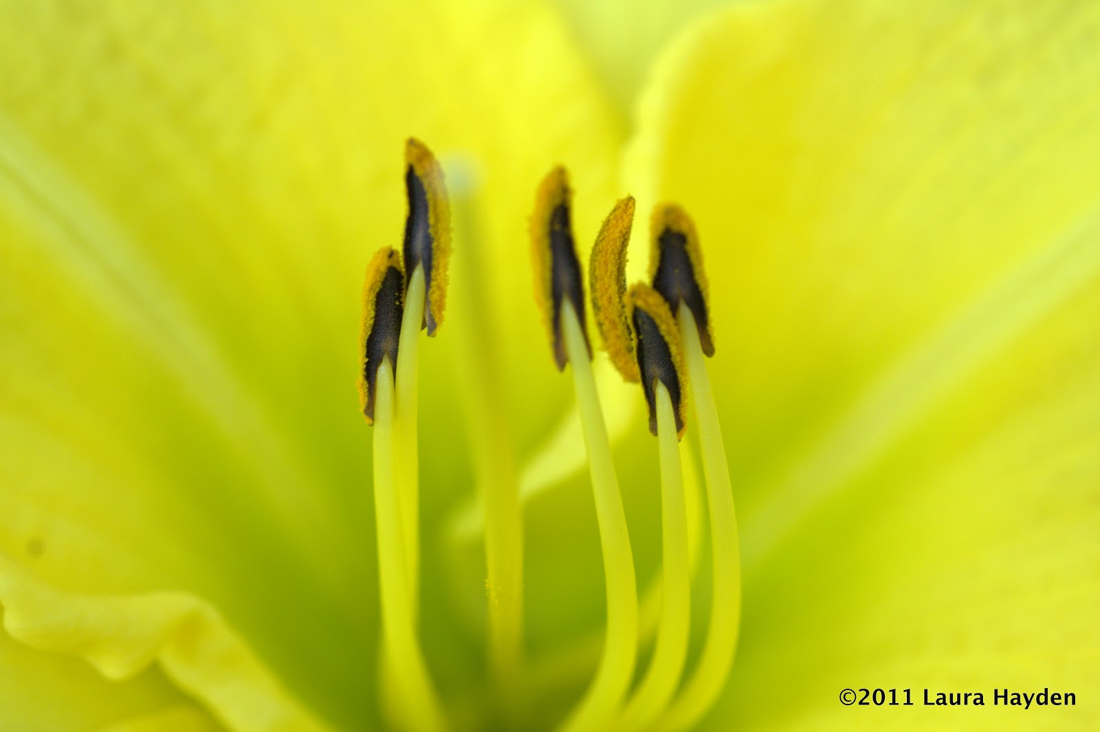 Durable gardening tetraploid tet what does tetraploid daylily the mutations that occur from the doubling of chromosomes results in the ability to breed new plants that have more admirable traits such as flower izmirmasajfo Gallery
