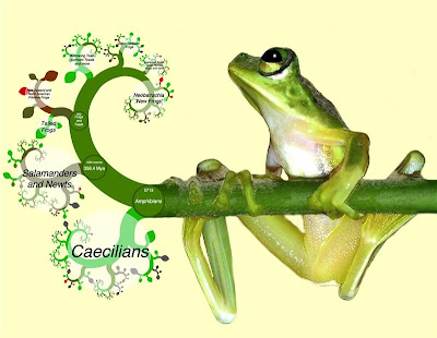 Who's zooming who? Frogs, fractals and the tree of life