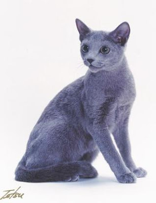 sitting russian blue cat