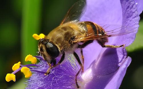 Abeja entre las flores - Bee and Flowers- Abeilles by Franco Mottironi