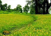 Smithia Hirsuta Flowers Kaas Plateau Satara