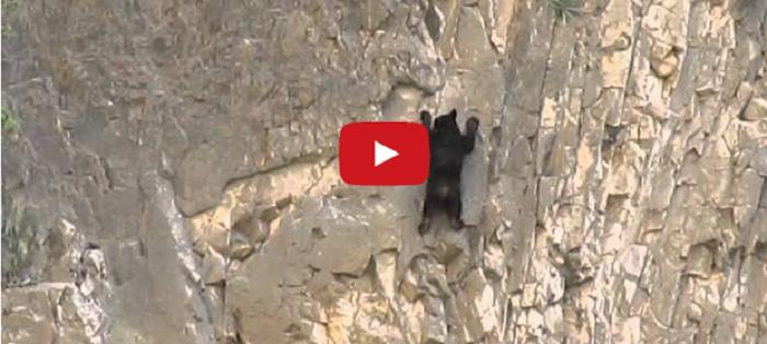 Watch: Incredible Rock Climbing Black Bearsv
