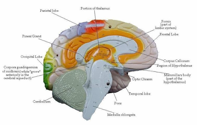 Anatomical Brain Model