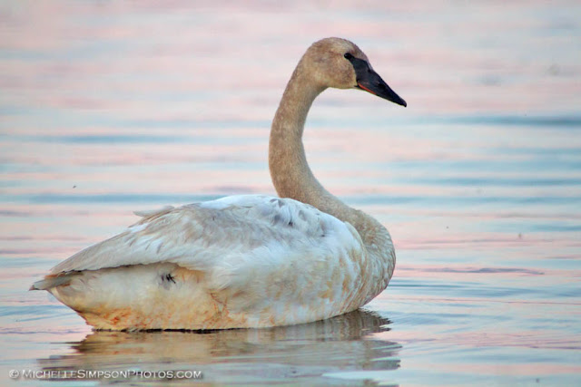 Swan on Beluga Lake, Homer, Alaska