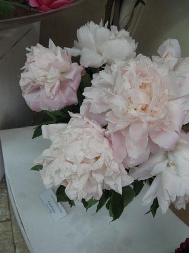 Gardenia pioni