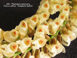 Coelogyne imbricata , Orquídea guizo de cascavél