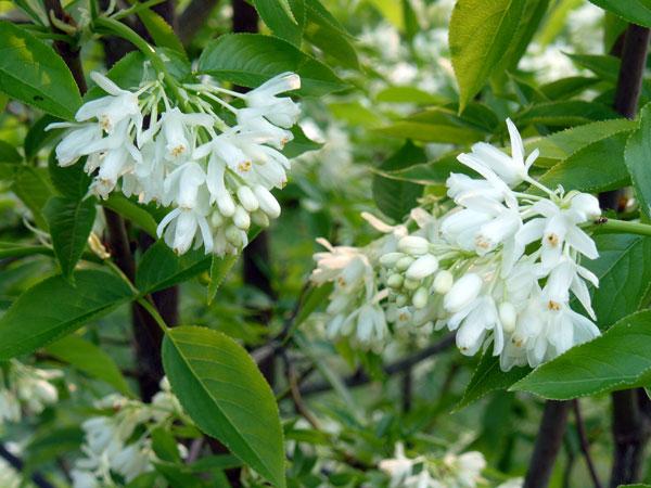 Temps de jardin un bel inconnu le staphylea colchica - Que planter le long d un mur au soleil ...