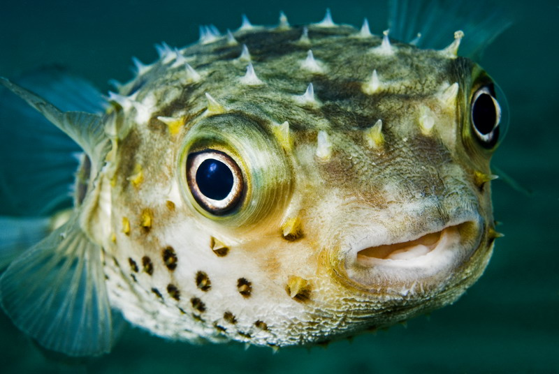 puffer fish the life of animals