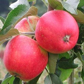 Сорт сладких яблок конфетное