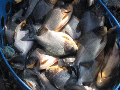 Teknis Budidaya Ikan Bawal dengan Produk Vitamin Organik NASA | Agro Nusantara | www.agrotaninusantara.com