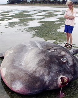 Big fishes of the world sunfish oceanic mola mola for What is the biggest fish ever caught
