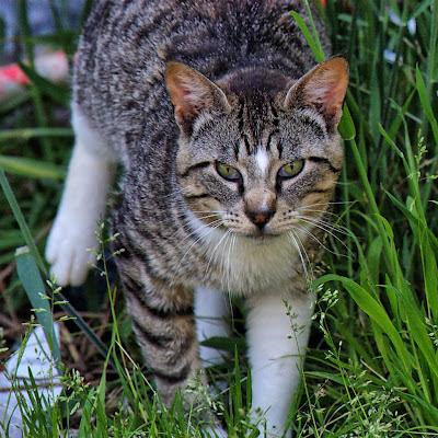 Silver Tabby Tom Cat, Dora The Explorer sibling