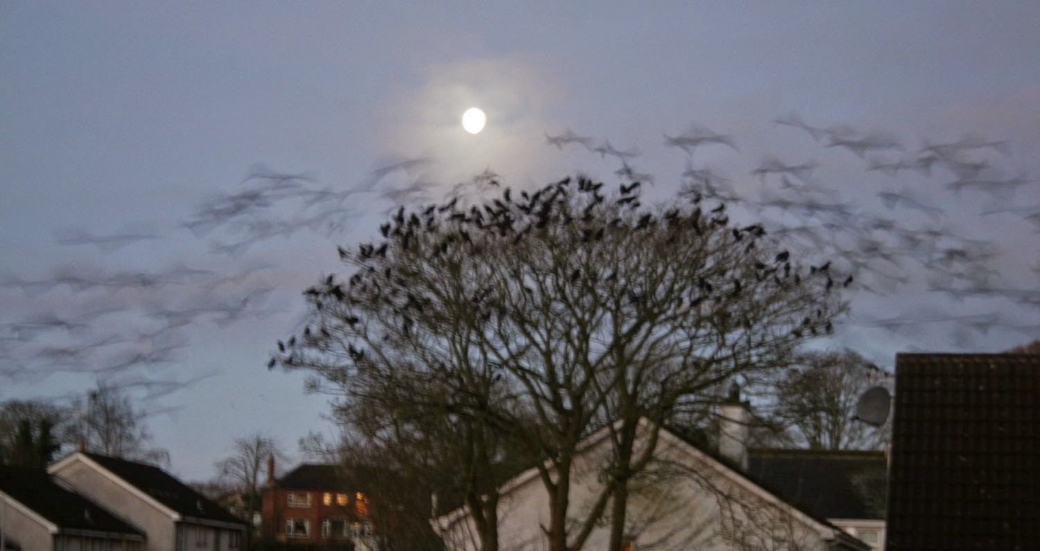 Dawn chorus of Crows