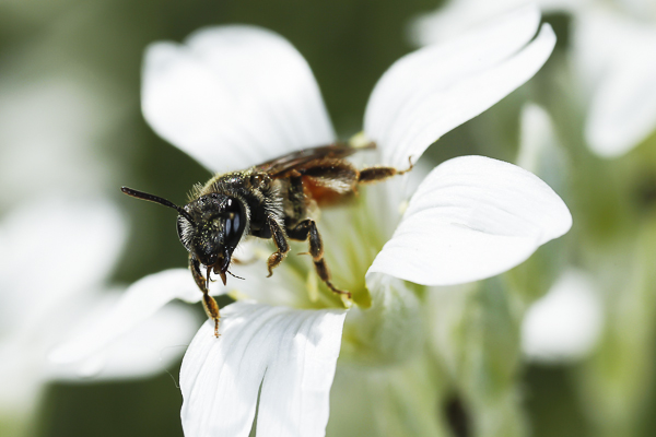 hymenoptère, abeille coucou