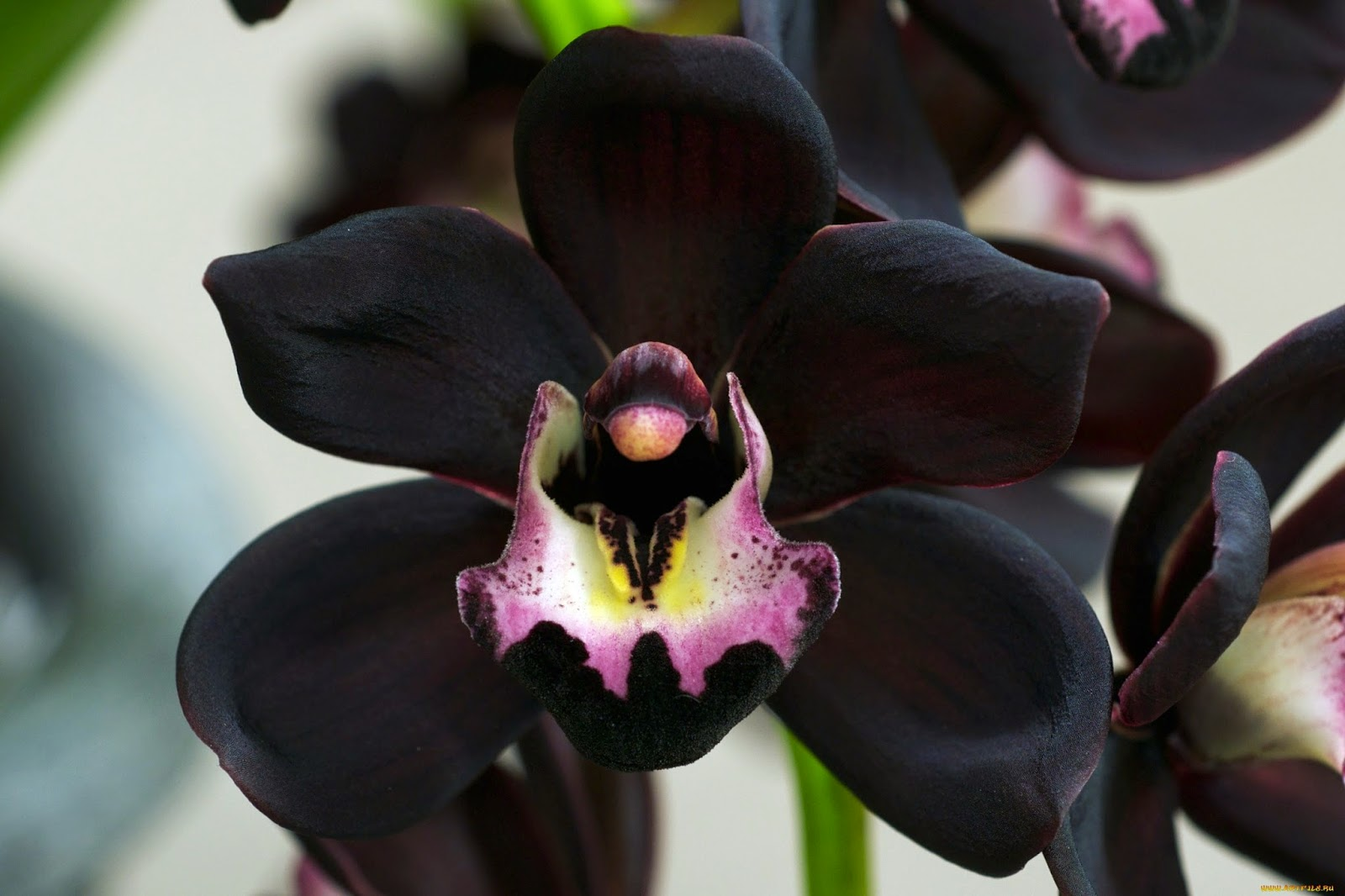 Charm behind the beautiful Black Orchid flowers