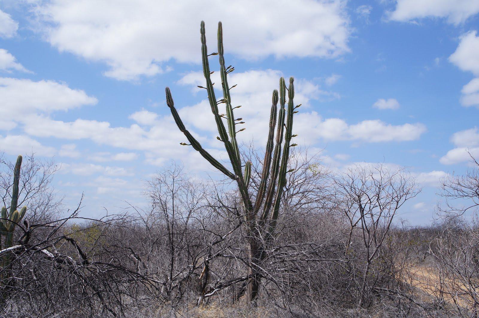 A floração do mandacaru na seca
