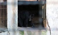 Precisando de reformas, zoológico do Parque Estadual de Dois Irmãos abriga mais de 530 animais, como o chimpanzé Foto: Marília Banholzer/NE10