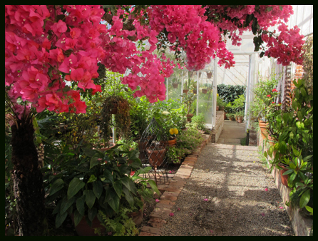 greenhouse with bougainvillea