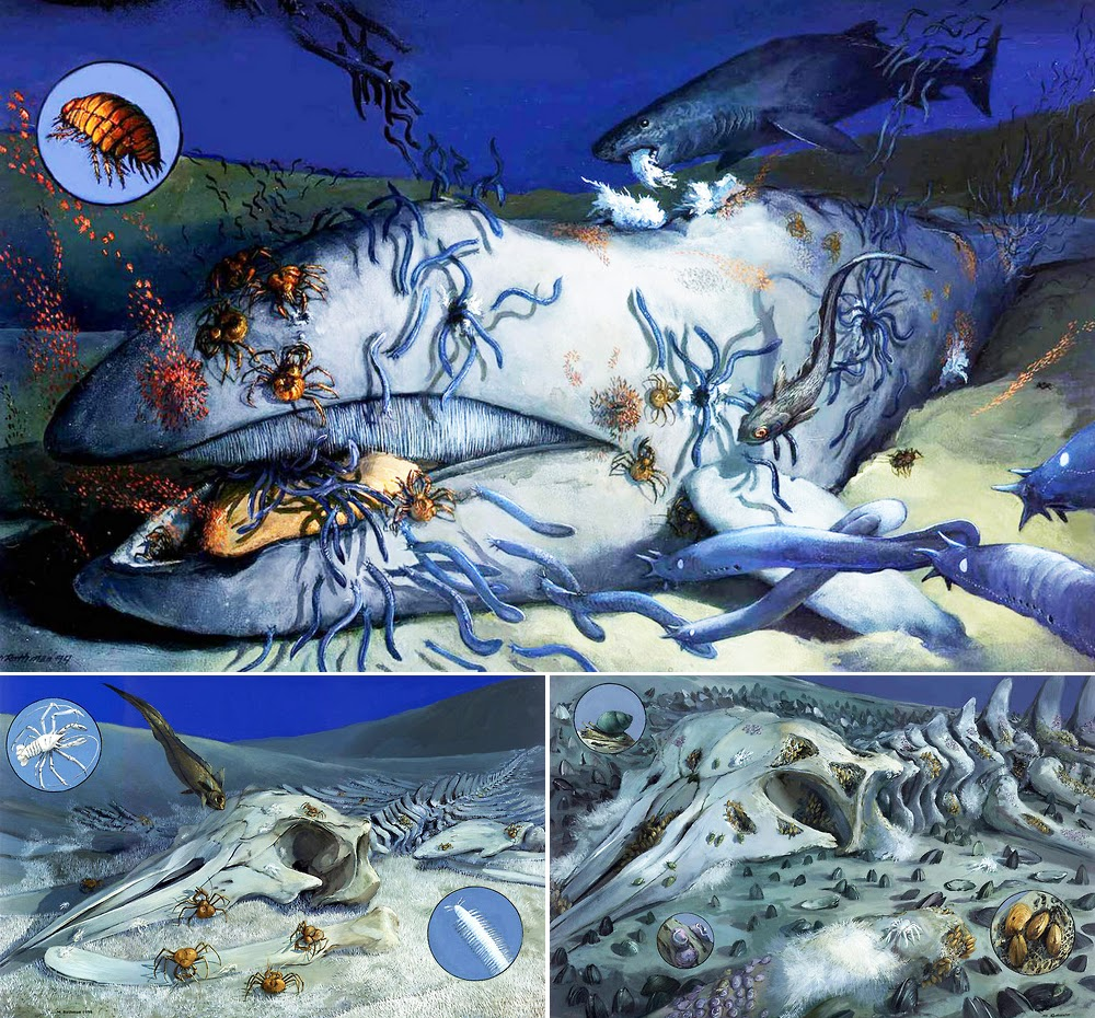 Species New to Science: [Cetology] Whale fall communities ...