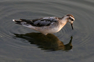 Red Phalarope, White Rock Lake, Dallas