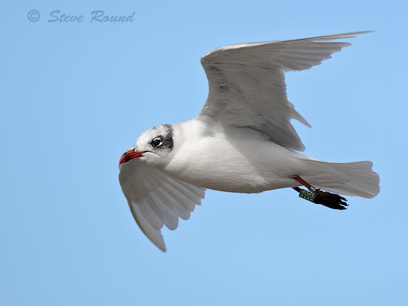 Mediterranean Gull, bird, seagull