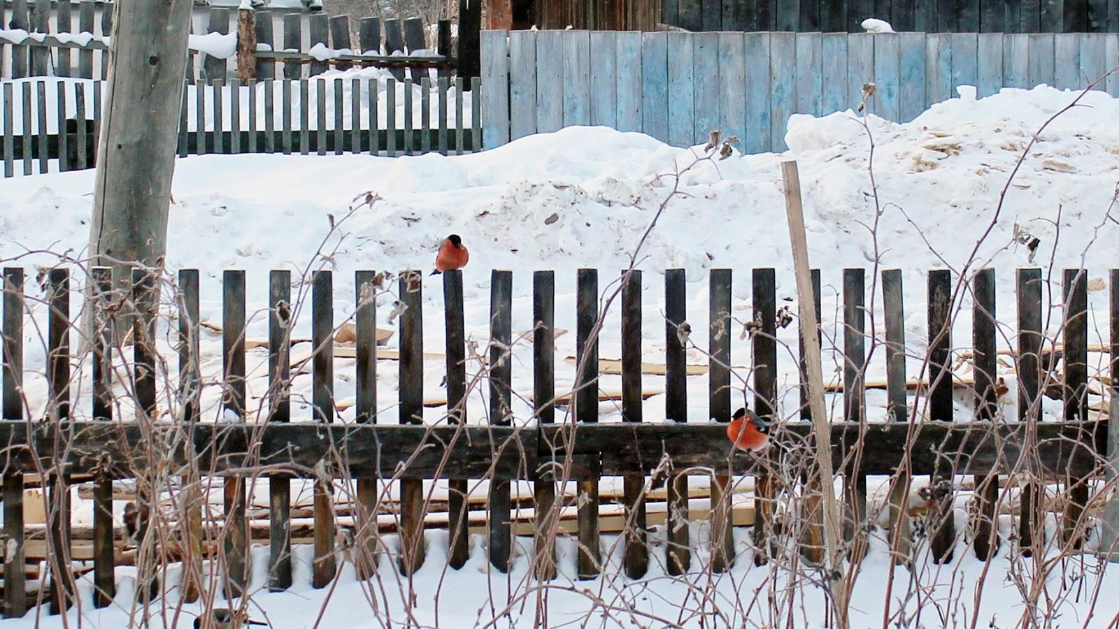 снегири - как капли крови на снегу