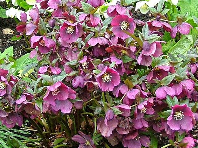 flori de spanz