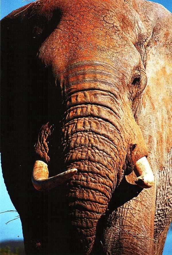 Слон крупными планом
