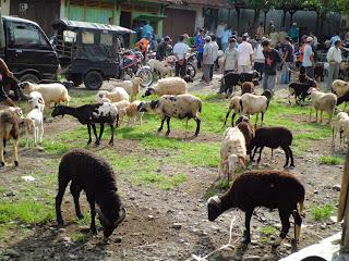 pasar-kambing-domba-murah-rajagaluh-majalengka