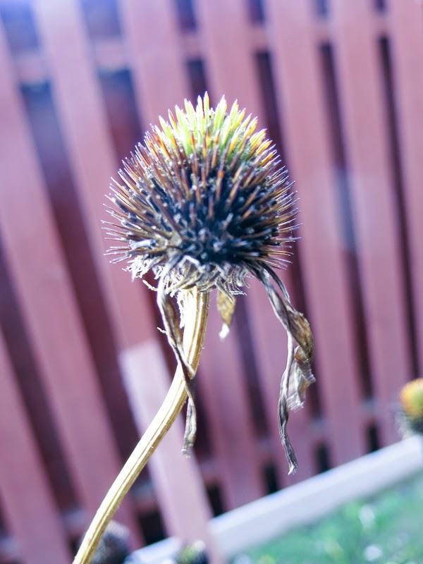 rudbeckia magnus