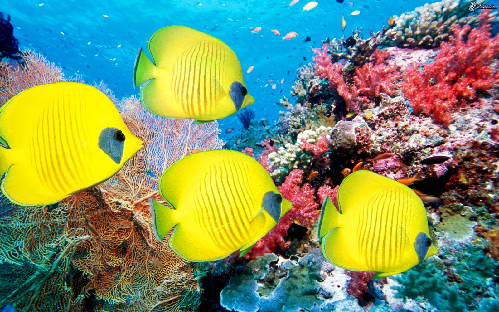 Coral Reef Wallpaper Australia World All free download  - coral reef australia wallpapers