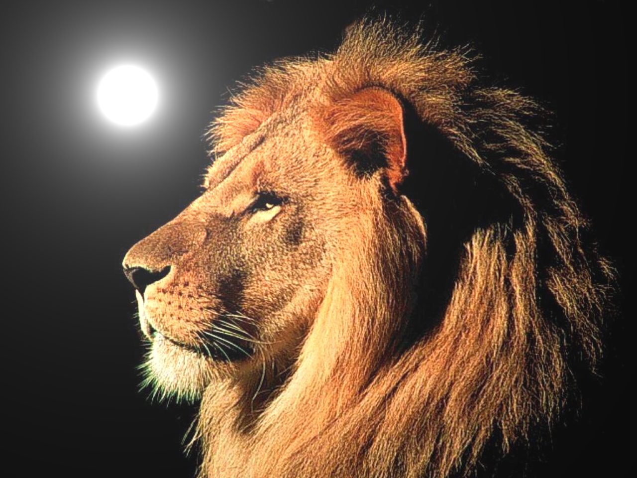 Good Wallpaper Night Lion - animals-2  2018-323839.jpg