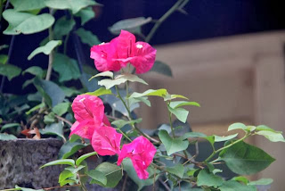 photo of Late(?) blooming bougainvillea