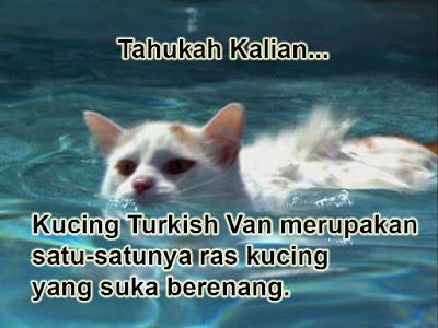 gambar kucing Turkish Van Berenang