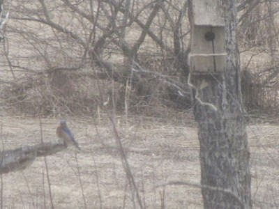 bluebird sitting near nesting box