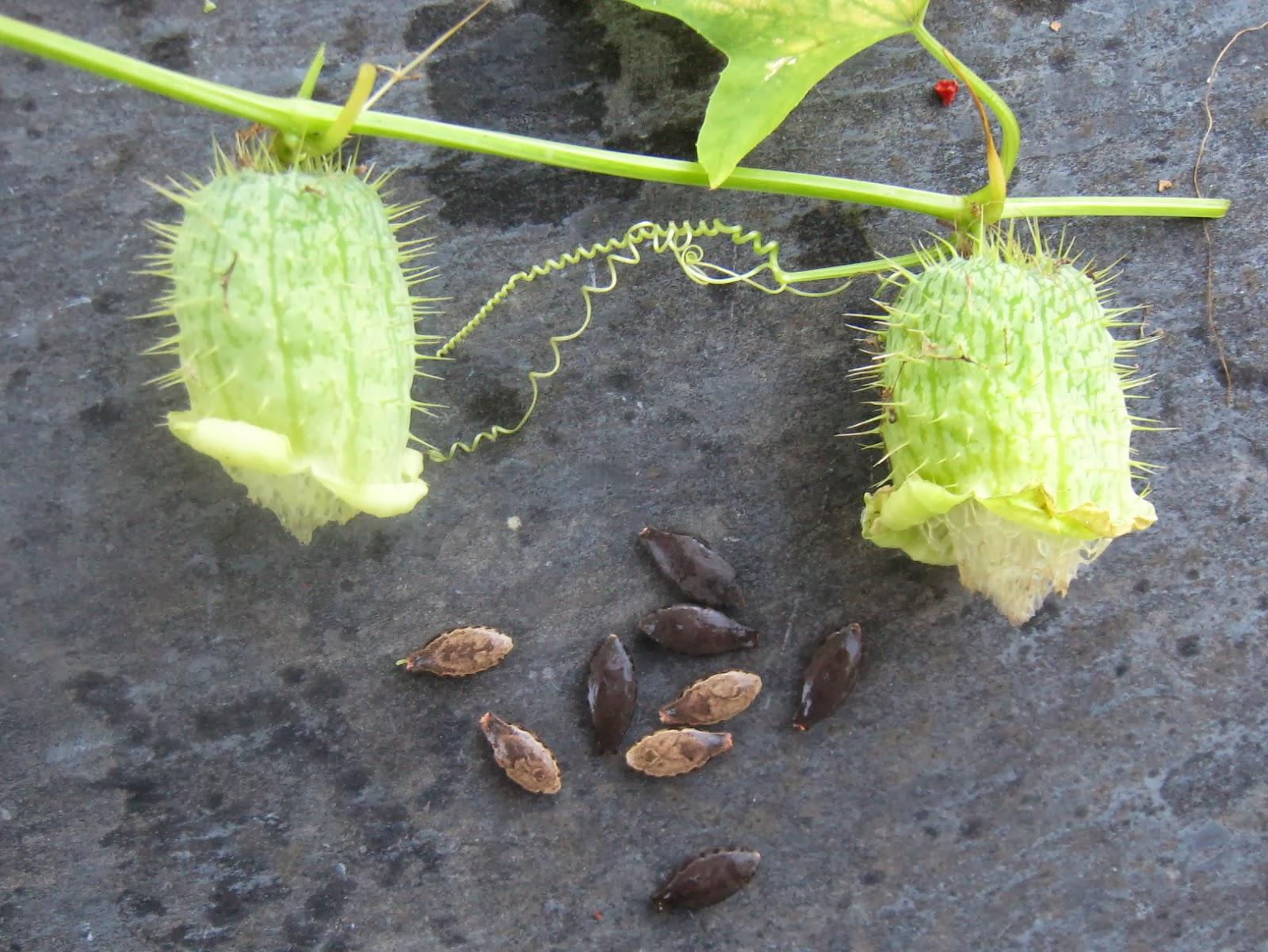 maynard life outdoors and hidden history of maynard wild cucumber annoying native plant