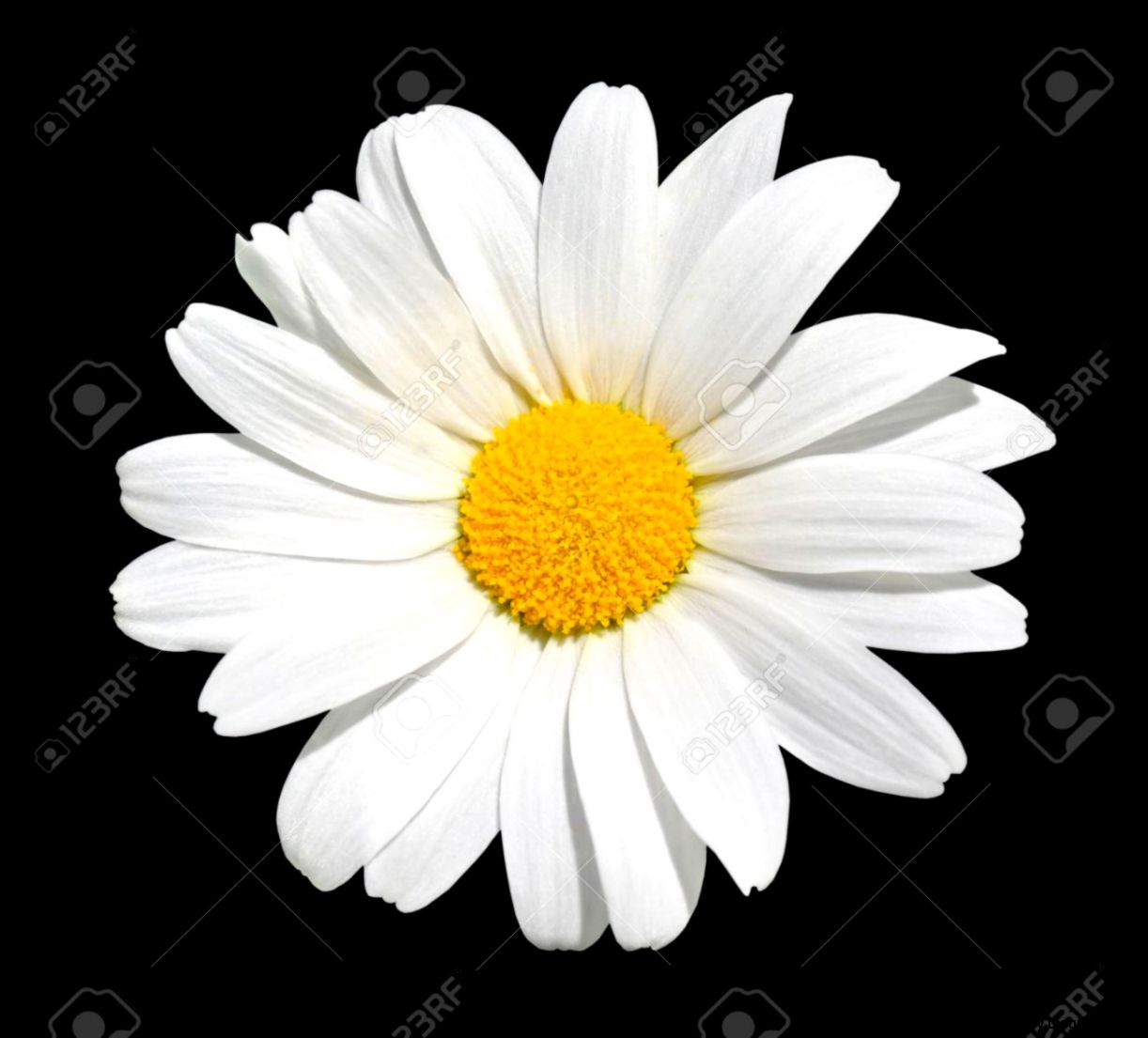 Osteospermum   White Daisy With Yellow Center Isolated On Black