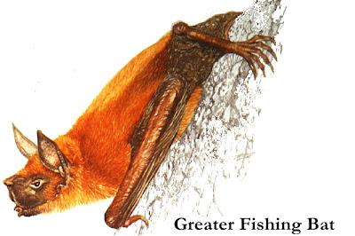 grater fishing bat Murcielago pescador gigante Noctilio leporinus