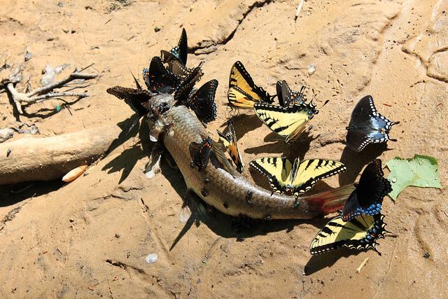 Borboletas se alimentando do sangue de um peixe morto